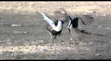 Greater Sage-grouse Conservation Announcement
